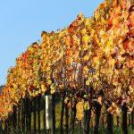 Klaus Egle: Wein wird 2017 zur Mangelware