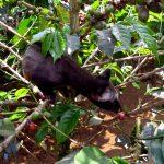 Kopi Luwak – Kaffee für die Katz