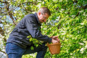 Bundesforste-Revierleiter Harald Zollner bei der Ernte der Kirschblüten