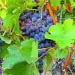 Burgenland hat neue DAC-Weinregion