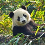 Wenn der Panda einfach nicht will..