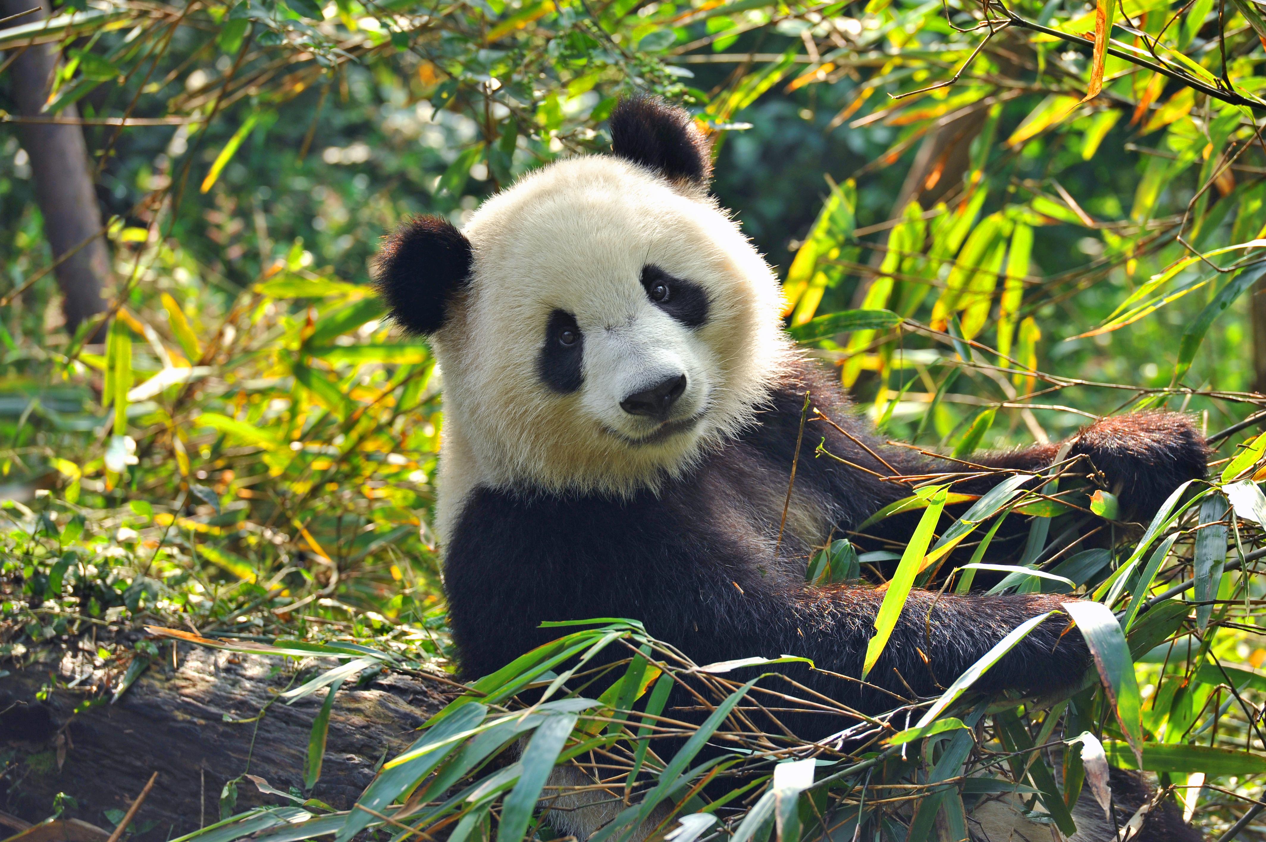 Der Panda